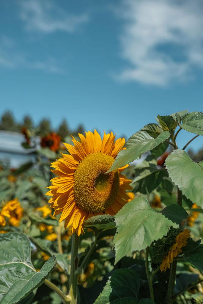 Chilliwack sunflower